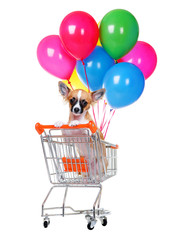 chihuahua dog in orange  shopping cart