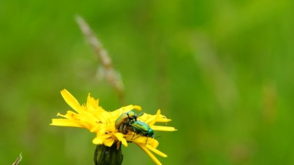 Beetles mate on a yellow flower, in the wind.