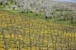 vitigni a spalliera in stagione primaverile con fioritura
