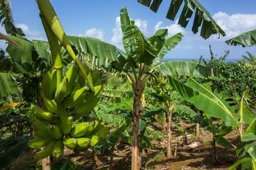 Banane et bananier