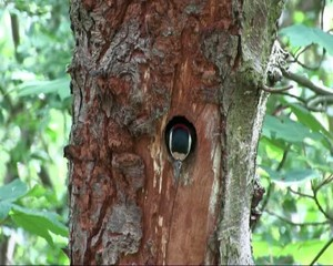 Greater Spotted Woodpecker Nest