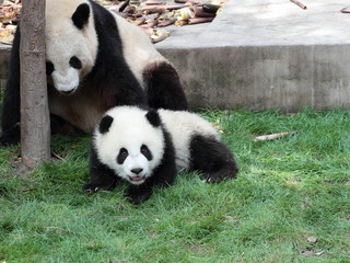 Giant panda with its cub