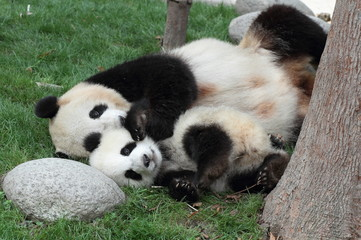 Giant panda with its cub Sleeping on the grass