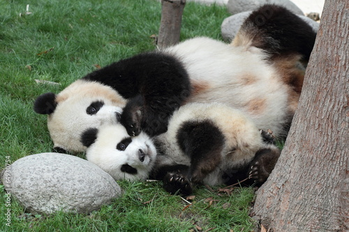 Foto op Canvas Panda Giant panda with its cub Sleeping on the grass