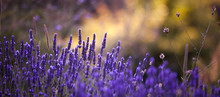 Lavendar fall background