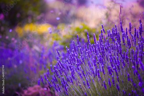 Garden flowers  Lavendar colorful background