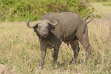 Cape Buffalo in the Veldt