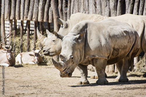 Poster Antilope White rhinoceros and Addax in captivity