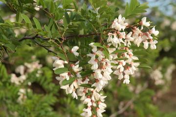 Robinia pseudoacacia. Rama con flores de Robinia.