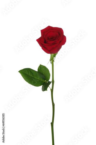 Papiers peints Roses Red rose