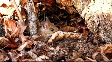 White footed mouse (woodmouse, Peromyscus leucopus)
