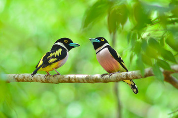 Black and yellow Broadbill bird