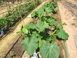 pumpkin plants in allotment