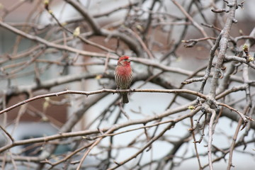 House Finch (Carpodacus mexicanus) on Tree Branch