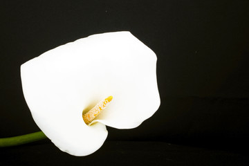 White calla lily close up