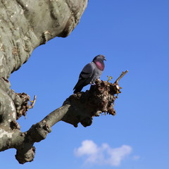 Pigeon sur le platane: quai d'Ascona.