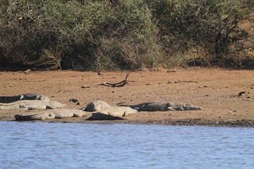 Crocodiles du Nil