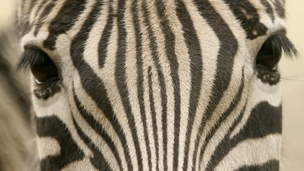 Close up of the zebra looking in the camera