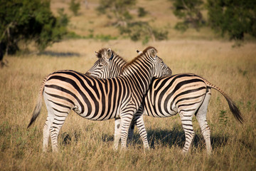 Two zebras, South Africa