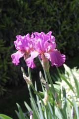 Iris violet des jardins