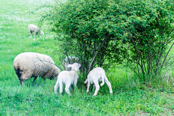 cute sheep family