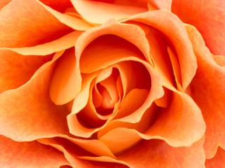 Close-up of light colored orange rose