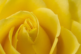 Fototapety Close up image of yellow rose