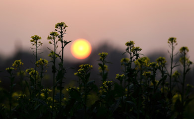Sunset behind a Mustard field