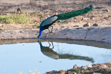 indian peafowl drinking from a man made watering hole
