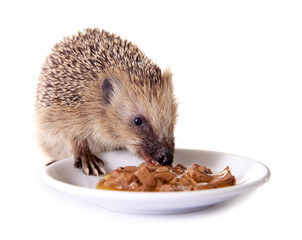 Junger Igel frisst Futter