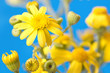 beautiful yellow flowers on a blue background
