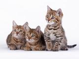 bengal cat - 64957751