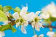 blooming tree twig in spring