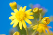 yellow daisy on a blue background