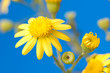 cute yellow flower on a blue background