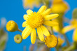bright yellow flowers on a blue background
