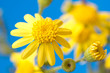 tender bright yellow flowers on a blue background