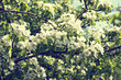 spring blooming twig with white flowers in a garden