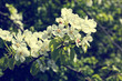 blooming branch with white flowers