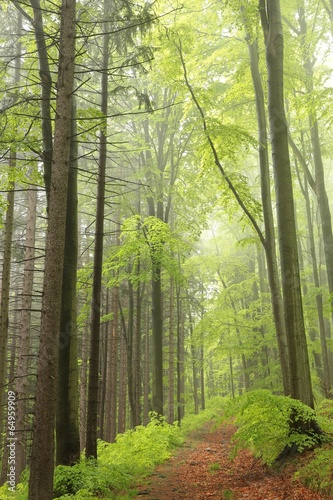 Fotobehang Bos in mist The majestic spring forest surrounded by fog