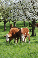 Cows under blooming trees in orchard