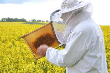 doświadczony pszczelarz pracujący na polu kwitnącego rzepaku
