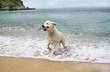 labrador retriever dog on beach
