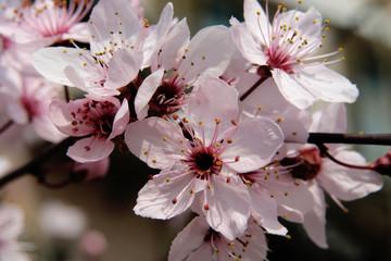 fioritura alberi da frutto