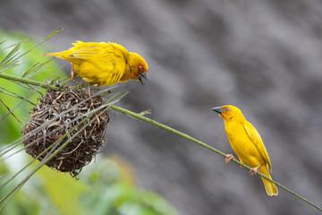 Two golden palm weaving birds defending their nest