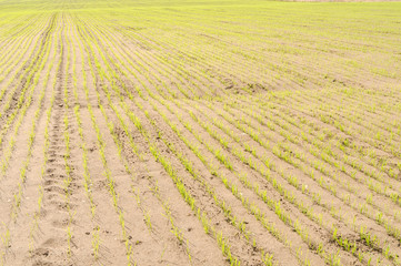 the inputs of the wheat field with sandy soil