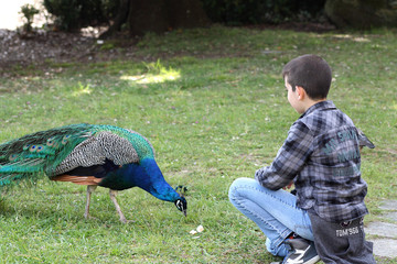 Young boy and peacock