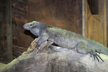 Gray lizard