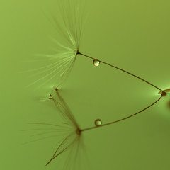 Dandelion seed with a raindrop on the water surface