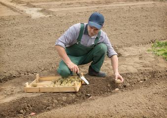 Happy farmer manually put the potatoes in the furrow